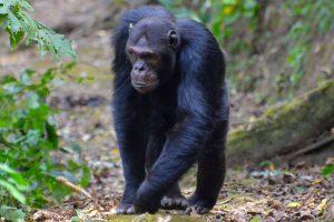 5 Days Rwanda Chimpanzee And Gorilla Trekking Tour