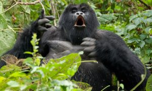 5 Days Rwanda Chimps And Gorilla Tour.