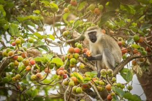 5 Days Uganda Chimpanzee And Gorilla Trekking Safari