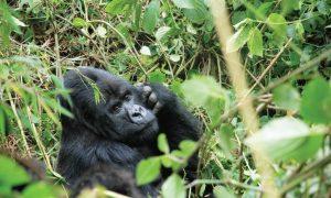 2 Day Rwanda Gorilla Trekking Tour