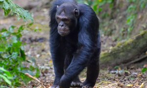 5 Days Rwanda Chimpanzee And Gorilla Trekking Tour