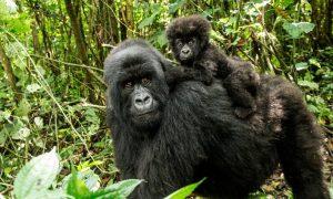 5 Day Rwanda Gorilla Trek And Lake Kivu Safari.